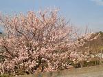 Sakura1513