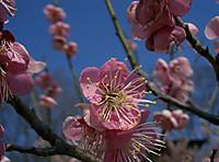 Prunus_ume_michishirube1